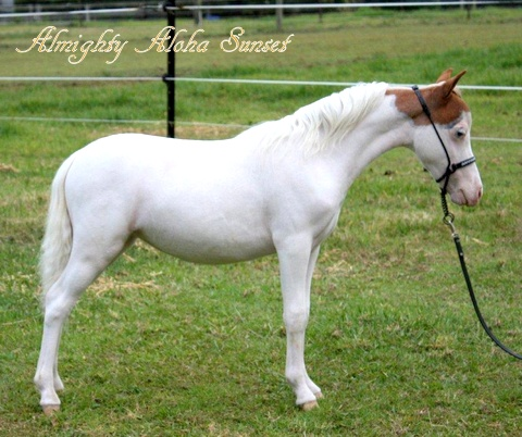 Almighty Aloha Sunset - Enchanted Show Stables