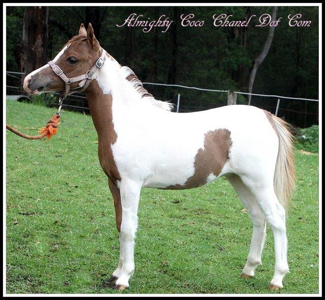 Almighty Coco Chanel Dot Com - Enchanted Show Stables