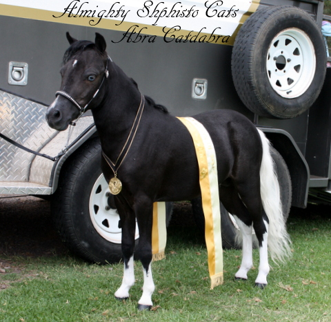 Almighty Sophisto Cats Abra Cadabra - Enchanted Show Stables